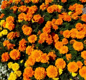 Marigold bedding plants