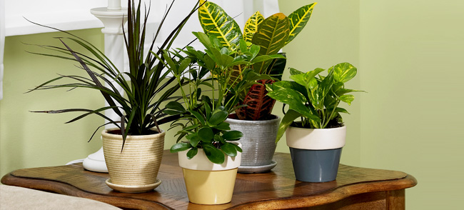Vastu tips indoor plants for Where to buy indoor house plants